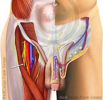 Anatomie Leiste, Leistengegend Leistenregion beim Mann