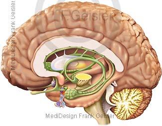Hirnhälfte Gehirn mit Hirnstamm und Kleinhirn, Limbisches System im Gehirn