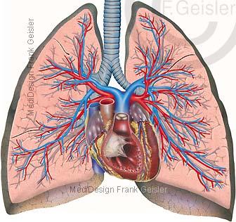 Anatomie Lunge mit Bronchien Herz und Lungengefäße