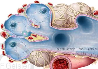Anatomie Histologie Lunge, Bronchiole mit Lungenbläschen Alveolen und Blutkapillare