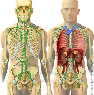 Lymphatisches System Lymphsystem mit Lymphbahnen Lymphknoten Lymphe