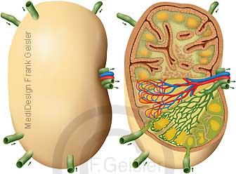 Lymphknoten Lymphonodus und Histologie Lymphknoten mit Lymphgefäße