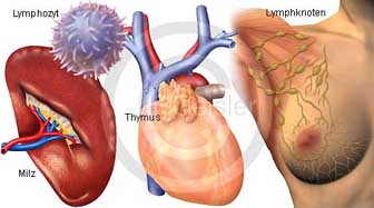 Immunsystem Lymphozyt mit Lymphorgane Lymphknoten Milz und Thymus