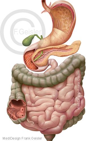 Magen-Darm-Trakt Gastrointestinaltrakt des Menschen