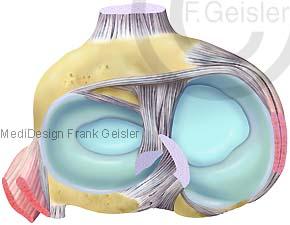 Anatomie Knie, Menisken Kreuzband im Kniegelenk