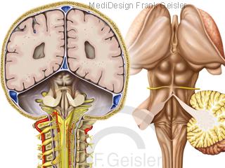 Zentrum für Motorik, Gehirn Hirn Hirnstamm mit Rückenmark