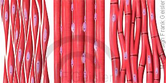 Histologie Muskel, Muskelzellen Muskulatur Muskelgewebe