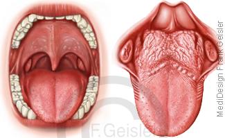 Mund Mundhöhle mit Zähne Gebiss und Zunge