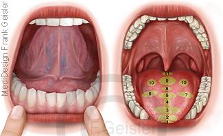 Mund mit Mundhöhle und Zunge, Zonen TCM Zungendiagnose Zungendiagnostik
