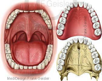 Mund mit Zähne, Zahnreihen im Gebiss des Menschen