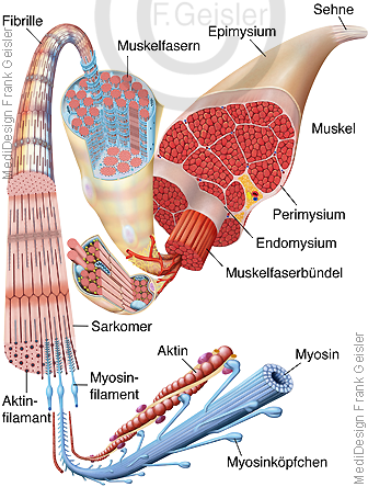 Anatomie Muskel Muskulatur Muskelaufbau Muskelstruktur Muskelfasern der Muskeln
