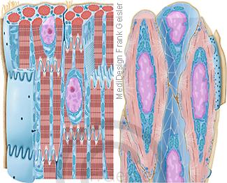 Histologie Muskelgewebe, Herzmuskelzellen Kardiomyozyten vom Herzmuskel und glatte Muskulatur