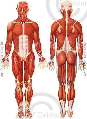 Anatomie Muskeln Muskelmann, Muskulatur des Menschen