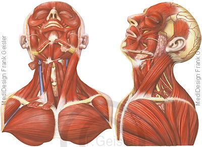 Anatomie Muskeln Muskulatur Kopf und Hals, Halsmuskeln und Brustmuskeln