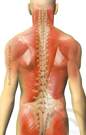 Muskeln Muskulatur Rücken mit Wirbelsäule