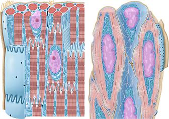 Histologie Muskelzellen Muskeln, quergestreifte glatte Muskulatur