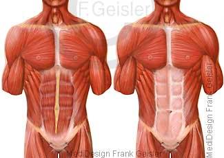 Muskeln Muskulatur Rumpf des Menschen, Brust mit Brustmuskeln, Bauch mit Bauchmuskulatur