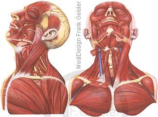Anatomie Muskeln Muskulatur Kopf Hals Brust Brustmuskulatur des Menschen