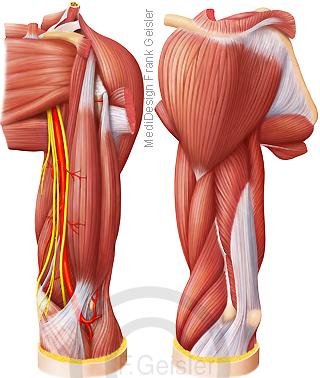 Muskulatur Muskeln linker Oberarm von vorn und hinten