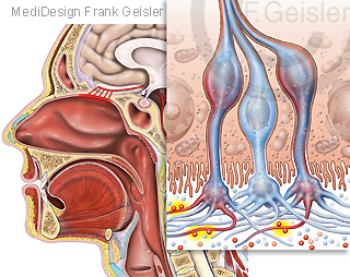Physiologie Mensch, Sinnesorgan Nase Geruch Riechen mit Riechzellen