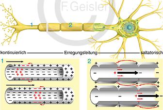 Physiologie Erregungsleitung Nerv Neuron und Neurit