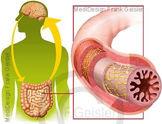Verdauungsorgan Darm mit Nerven und Steuerung durch ZNS