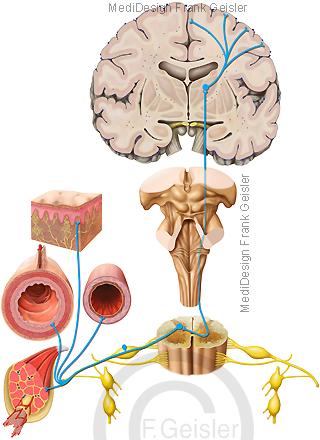 Nerven Nervensystem ZNS des Menschen, Organe Schmerz Nozizeptoren