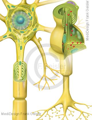 ZNS, Nerven Nervenzelle Neuron mit Synapse