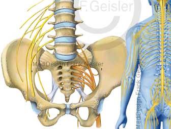Nervensystem, Rückenmark mit Nerven Nervenbahnen des Menschen, Lendengeflecht und Kreuzbeingeflecht