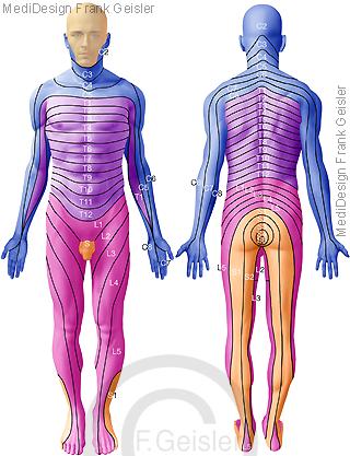 Nervensystem, Dermatome der Haut, Spinalnerven Rückenmarksnerven