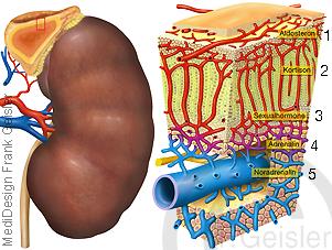 Niere Nebenniere Hormonbildung Produktion Hormone
