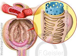 Nierenkörperchen der Niere, Glomerulus Gefäßknäuel der Nieren