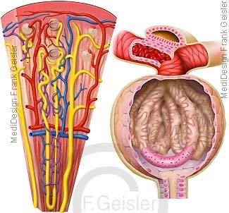 Histologie Nephron Niere, Tubulussystem mit Glomerulus
