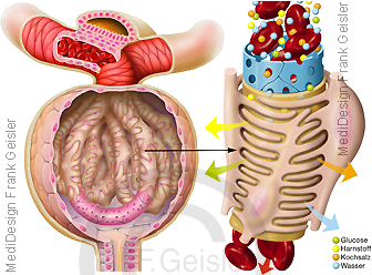 Anatomie Physiologie Niere Nierenkörperchen Glomerulum mit Kapillare und Podozyten