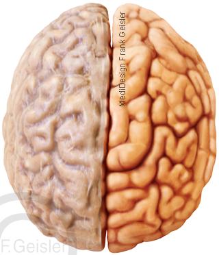 Oberfläche Hirn Gehirn Großhirn mit Hirnhaut
