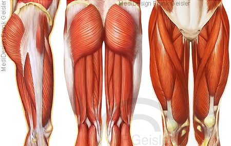 Oberschenkel mit Oberschenkelmuskulatur Muskeln Muskulatur und Knie Kniekehle