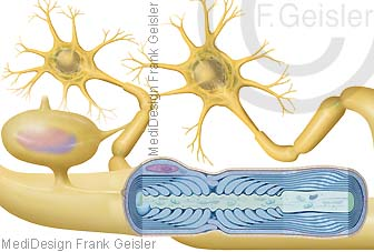 Nervenzellen Neuronen, Axon mit Oligodendrozyt und Myelin, lipidreiche Biomembran