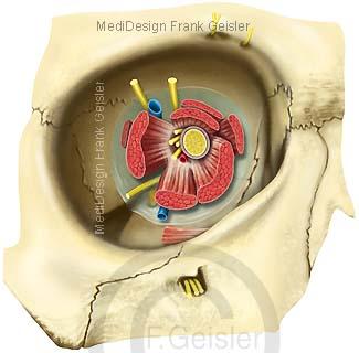 Anatomie Orbita mit Augenmuskeln und Sehnerv