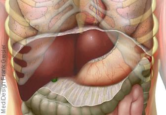 Organe Bauch, Oberbauch mit Bauchorgane