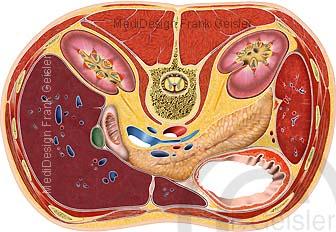 Anatomie Rumpf Rumpfquerschnitt, Organe im Bauch Bauchraum Oberbauch