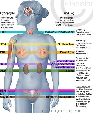 Organe weibliche Hormone Steuerung Wirkung bei Frau