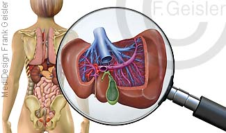 Organe von dorsal, Leber Lebergefäße und Gallenblase