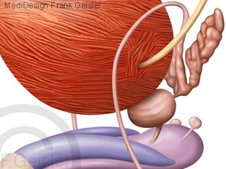 Organe Beckenorgane Becken Mann, Harnblase Samenbläschen und Vorsteherdrüse Prostata