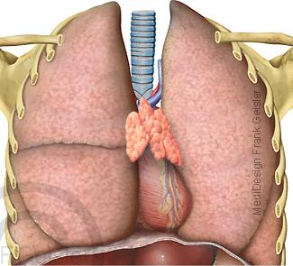 Organe im Thorax Brustraum der Brust de Menschen