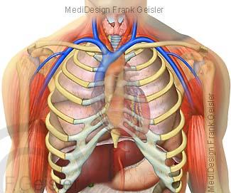 Anatomie Organe Brusteingeweide Thoraxorgane Brustorgane im Brustraum Thorax