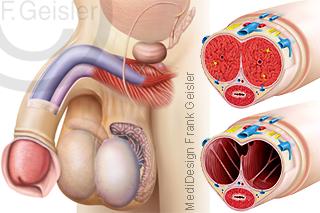 Anatomie Geschlechtsorgane Mann, Penis Glied Scrotum Hoden