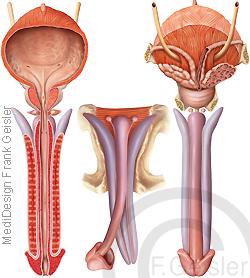Anatomie Penis Glied mit Penisschwellkörper Prostata und Harnblase