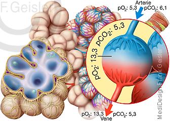 Physiologie Atmung Lungenbläschen Alveolus Lunge, Partialdruck bei Gasaustausch