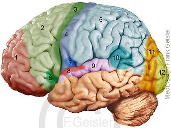 Physiologie ZNS, Areale Gehirn Hirnrinde für Verarbeitung Information