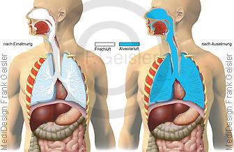Physiologie Atmung Ventilation, Frischluft Alveolarluft der Lunge